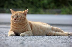 腹ばいでくつろぐ猫の写真素材 [FYI00547179]