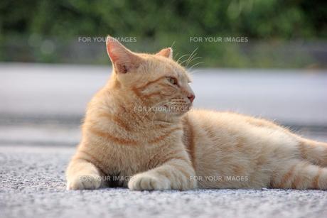 腹ばいでくつろぐ猫の写真素材 [FYI00547180]