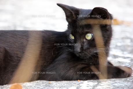 腹ばいでくつろぐ猫の写真素材 [FYI00547181]