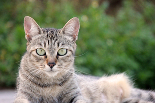 腹ばいでくつろぐ猫の写真素材 [FYI00547182]