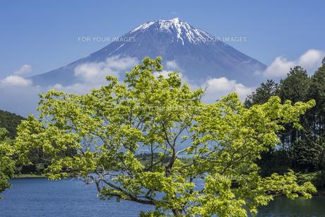 新緑の田貫湖と富士山の写真素材 [FYI00547199]