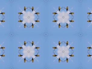 高い枝に止まり周囲をうかがう野鳥カワラヒワの写真素材 [FYI00547265]