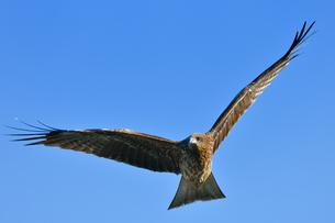 トンビの飛翔の写真素材 [FYI00547276]