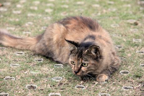 身構える猫の写真素材 [FYI00551855]