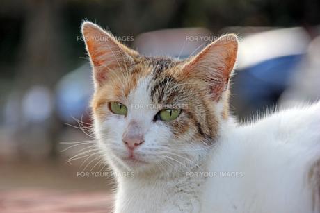 パステル三毛猫の写真素材 [FYI00551873]