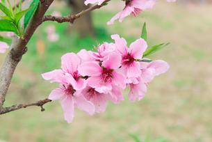 桃の花 - 日本の3月 -の写真素材 [FYI00551922]