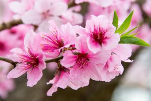 桃の花 - 日本の3月 -の写真素材 [FYI00551927]