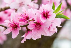 桃の花 - 日本の3月 -の写真素材 [FYI00551928]