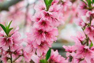 桃の花 - 日本の3月 -の写真素材 [FYI00551929]