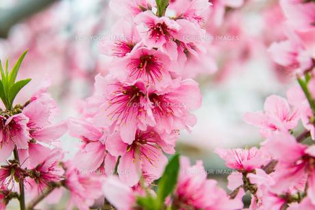 桃の花 - 日本の3月 -の写真素材 [FYI00551931]