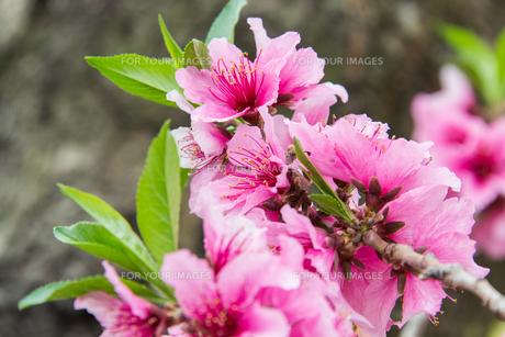桃の花 - 日本の3月 -の写真素材 [FYI00551933]