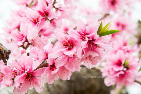 桃の花 - 日本の3月 -の写真素材 [FYI00551935]