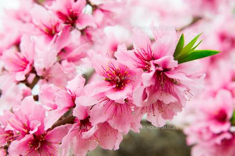 桃の花 - 日本の3月 -の写真素材 [FYI00551936]