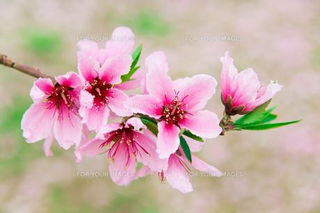 桃の花 - 日本の3月 -の写真素材 [FYI00551937]