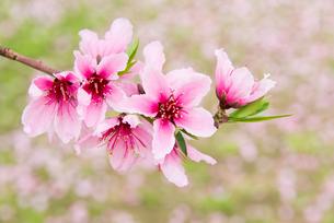 桃の花 - 日本の3月 -の写真素材 [FYI00551938]