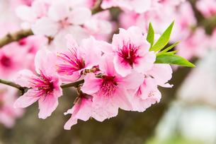 桃の花 - 日本の3月 -の写真素材 [FYI00551939]