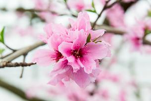 桃の花 - 日本の3月 -の写真素材 [FYI00551940]