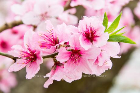 桃の花 - 日本の3月 -の写真素材 [FYI00551941]
