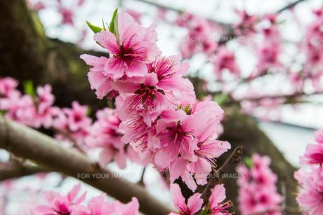 桃の花 - 日本の3月 -の写真素材 [FYI00551942]