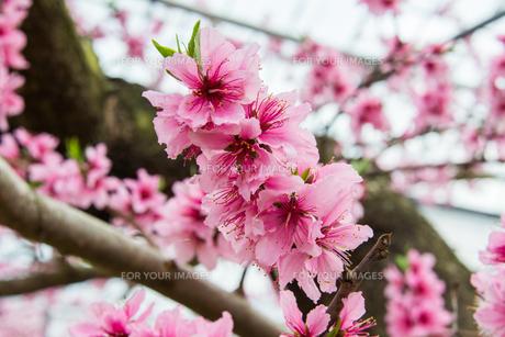 桃の花 - 日本の3月 -の写真素材 [FYI00551943]