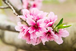 桃の花 - 日本の3月 -の写真素材 [FYI00551944]