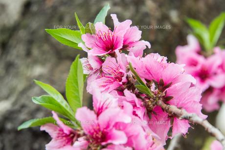 桃の花 - 日本の3月 -の写真素材 [FYI00551945]