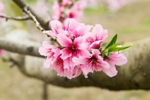 桃の花 - 日本の3月 -の写真素材 [FYI00551946]