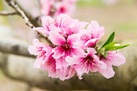 桃の花 - 日本の3月 -の写真素材 [FYI00551947]