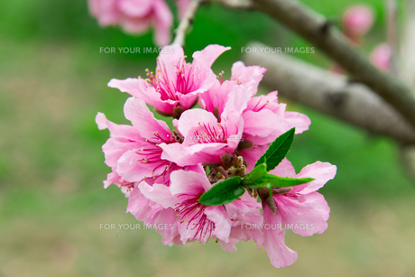 桃の花 - 日本の3月 -の写真素材 [FYI00551948]