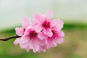 桃の花 - 日本の3月 -の写真素材 [FYI00551949]