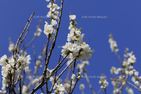 白い桃の花 - 日本の3月 -の写真素材 [FYI00551950]