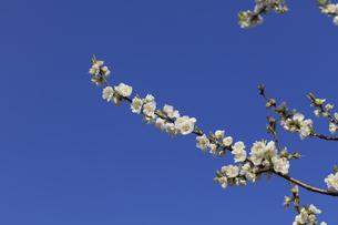 白い桃の花 - 日本の3月 -の写真素材 [FYI00551951]