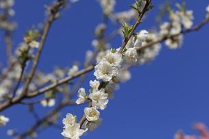 白い桃の花 - 日本の3月 -の写真素材 [FYI00551952]