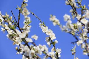 白い桃の花 - 日本の3月 -の写真素材 [FYI00551954]