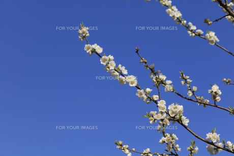 白い桃の花 - 日本の3月 -の写真素材 [FYI00551955]