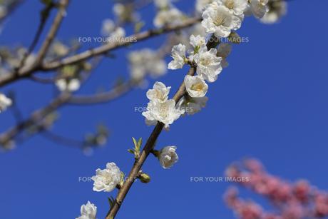 白い桃の花 - 日本の3月 -の写真素材 [FYI00551956]