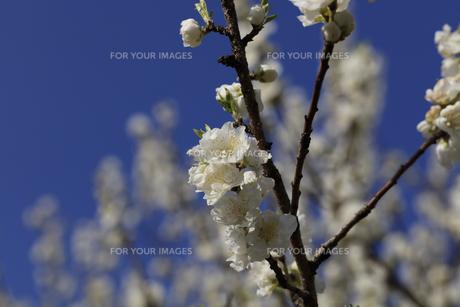 白い桃の花 - 日本の3月 -の写真素材 [FYI00551957]