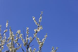 白い桃の花 - 日本の3月 -の写真素材 [FYI00551958]