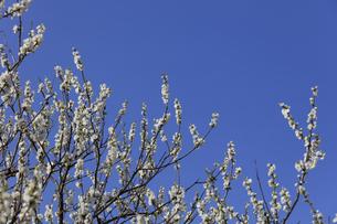白い桃の花 - 日本の3月 -の写真素材 [FYI00551959]