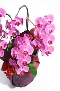 ピンクのコチョウラン(アップ)鉢植の写真素材 [FYI00554207]