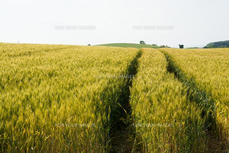 色づきはじめたムギ畑の写真素材 [FYI00554289]