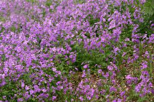 オオアラセイトウ、花大根の花の写真素材 [FYI00554357]