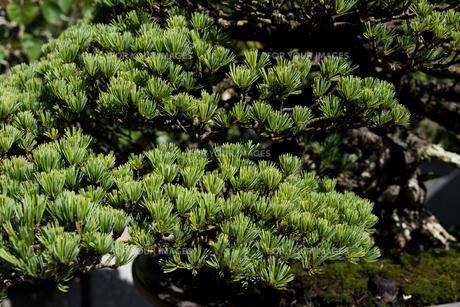 盆栽 五葉松の写真素材 [FYI00554368]