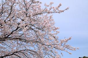 今井の桜 千葉県白井市の桜並木の写真素材 [FYI00554480]