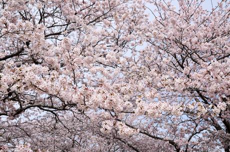 今井の桜 千葉県白井市の桜並木の写真素材 [FYI00554481]