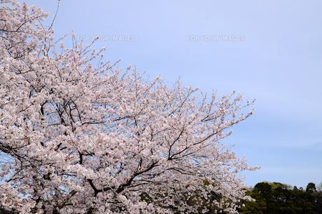 今井の桜 千葉県白井市の桜並木の写真素材 [FYI00554482]