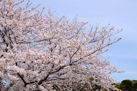 今井の桜 千葉県白井市の桜並木の写真素材 [FYI00554483]