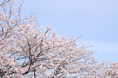 今井の桜 千葉県白井市の桜並木の写真素材 [FYI00554484]