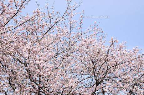 今井の桜 千葉県白井市の桜並木の写真素材 [FYI00554486]