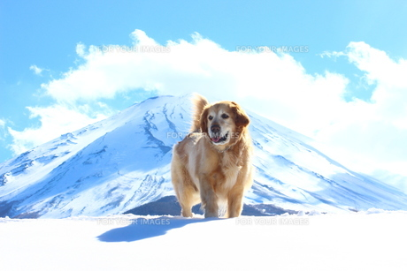 老犬と富士の写真素材 [FYI00554650]